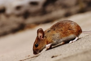 Mice Exterminator, Pest Control in Holloway, N7 . Call Now 020 8166 9746
