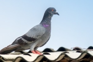 Pigeon Control, Pest Control in Holloway, N7 . Call Now 020 8166 9746